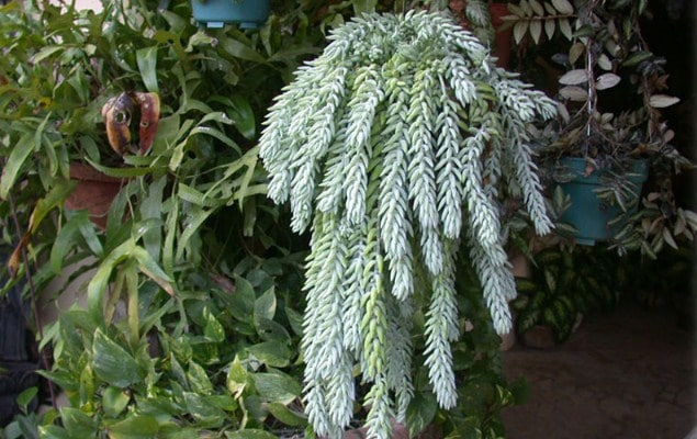 Kaktus Anggur | tanaman hias gantung