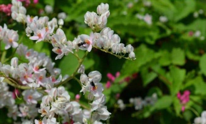 Cara Menanam Bunga Air Mata Pengantin Dalam Pot Bagi Pemula Flora