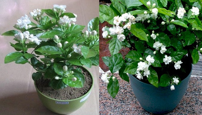 Cara Menanam Bunga Melati Dalam Pot Di Rumah Agar Cepat Berbunga Bagi Pemula Faunadanflora Com
