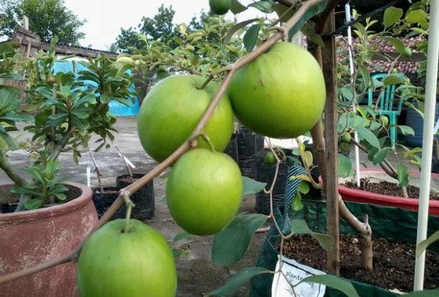 78+ Gambar Pohon Apel India Paling Keren