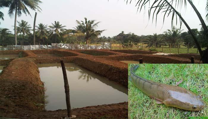 Panduan Lengkap Cara Budidaya Ikan Gabus Di Kolam Tanah ...