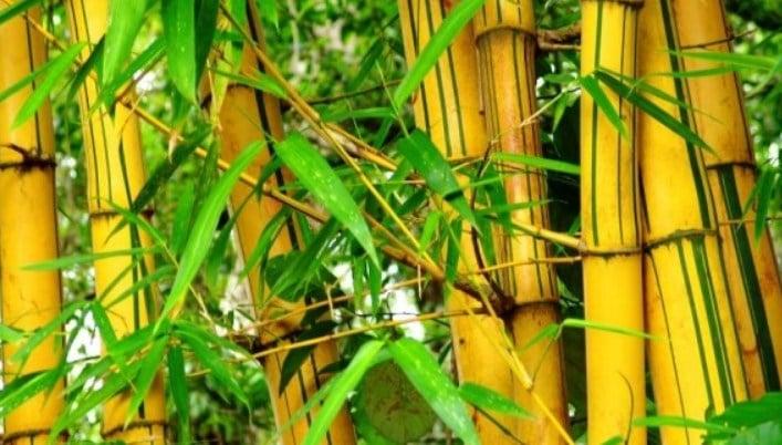 jual bambu kuning