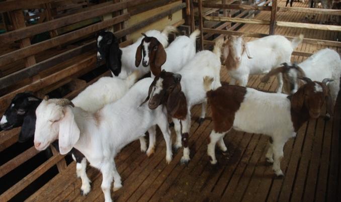 Hasil gambar untuk cara penggunaan produk nasa untuk kambing