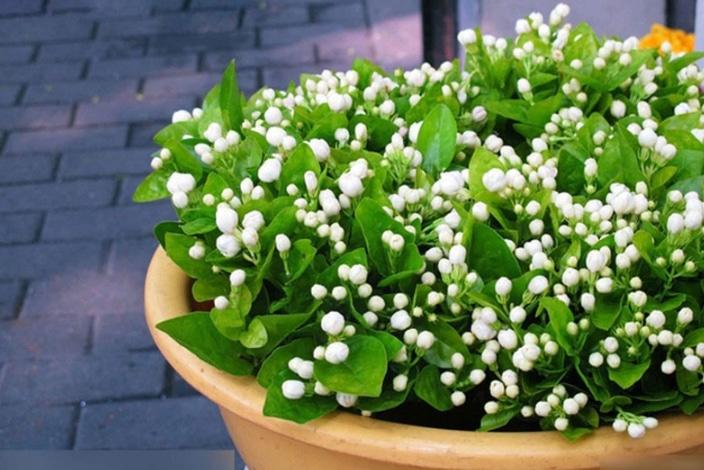 Cara Menanam Da Merawat Bunga Melati Mini Dalam Pot Agar Cepat Berbunga Bagi Pemula Faunadanflora Com