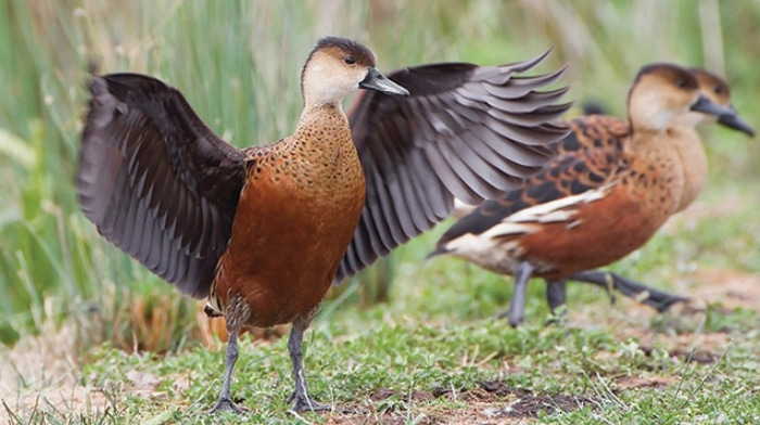 Panduan Lengkap Cara Ternak Budidaya Burung Belibis Bagi Pemula Agar Sukses Faunadanflora Com