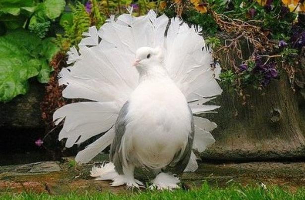 Download 105+  Gambar Burung Merpati Keren HD Terbaik