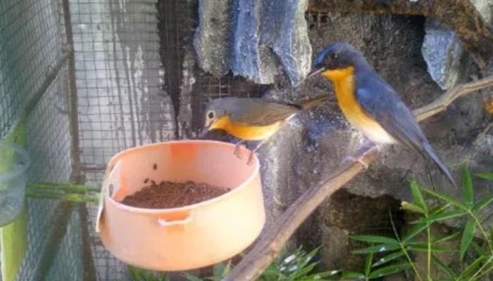 Panduan Lengkap Cara Ternak Burung Tledekan Bagi Pemula Agar Sukses Faunadanflora Com