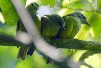 Cara Membedakan Burung Opior Paruh Tebal Jantan Dan Betina Faunadanflora Com