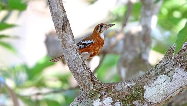 Panduan Lengkap Cara Ternak Burung Anis Cendana Bagi Pemula Agar Sukses Faunadanflora Com