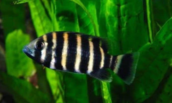 Panduan Lengkap Cara Budidaya Ikan Zebra Tilapia Bagi ...