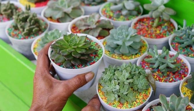 Panduan Lengkap Cara Menanam Dan Merawat Kaktus Mini Bagi