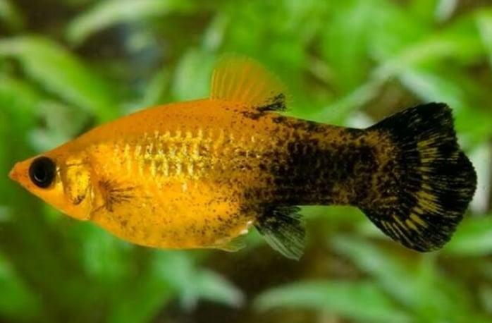 Panduan Lengkap Cara Budidaya Ikan Golden Black Molly Bagi Pemula Agar Sukses Faunadanflora Com