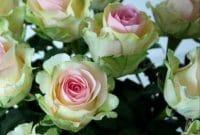 Cara Menanam Bunga Mawar Jambe Faunadanflora Com
