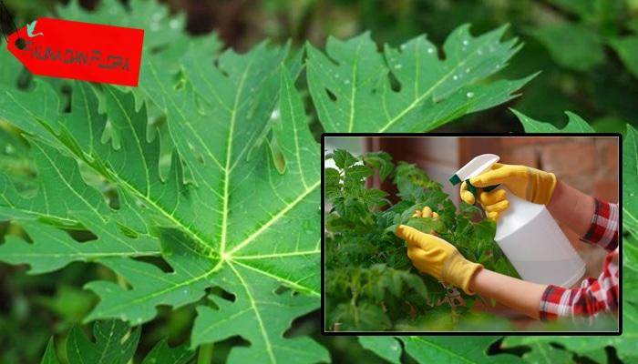 Cara Membuat Pestisida Nabati dari Daun Pepaya Lengkap ...