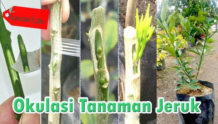 Cara Okulasi Tanaman Jeruk Yang Baik Dan Benar Agar Cepat Berbuah Faunadanflora Com