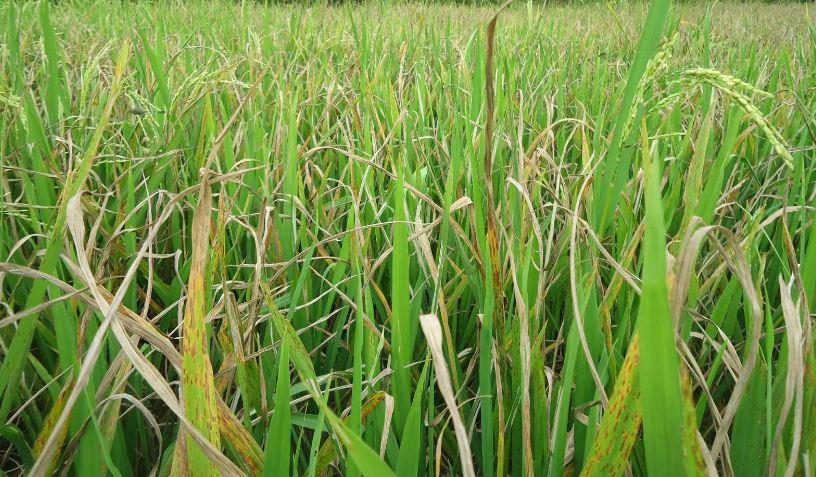 Cara Pengendalian Hama Putih Palsu Pada Tanaman Padi Paling Efektif Faunadanflora Com